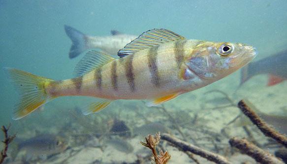рыба окунь речной